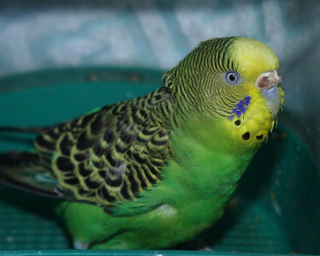 Стресс у волнистого попугая