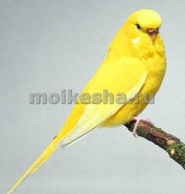 информация о попугаях волнистых
