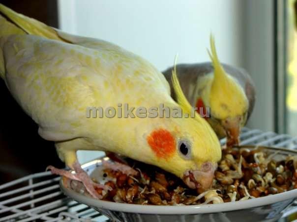 уход за попугаями корелла