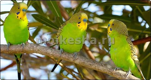 волнистый попугай зеленый