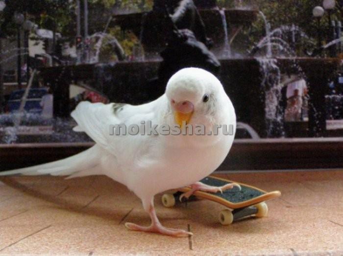 сколько весит волнистый попугай