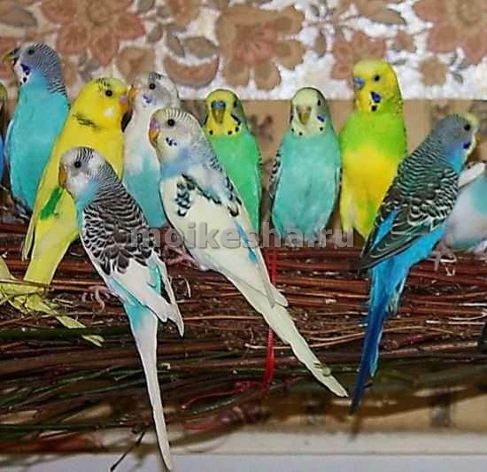Имена для попугаев волнистых