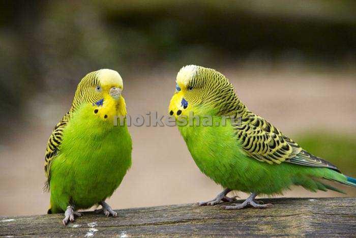 Пара зеленых волнистых попугаев