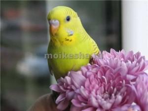 Как выбрать самца волнистого попугая?