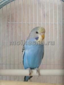 возраст волнистого попугая