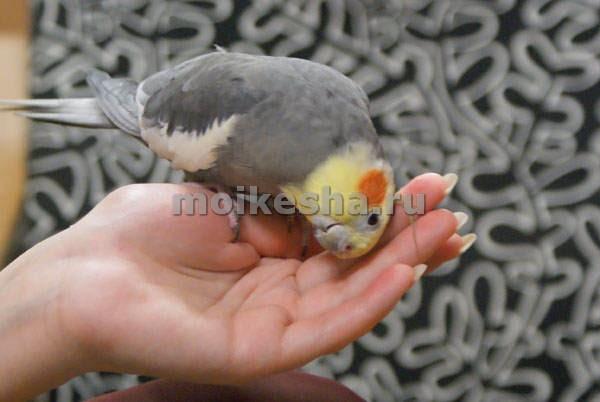 приручение попугая корелла