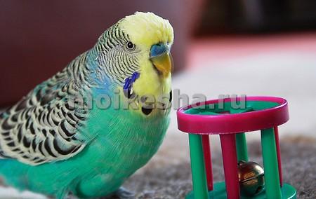 как играть с попугаем волнистым