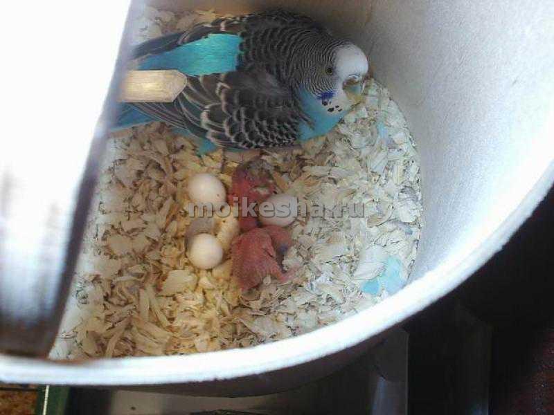 Размножаются попугаи домашних условиях