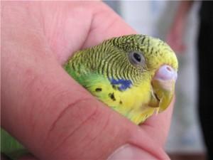 Болезни глаз у волнистых попугаев