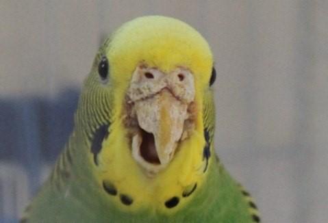 Болезнь волнистых попугаев - клещ