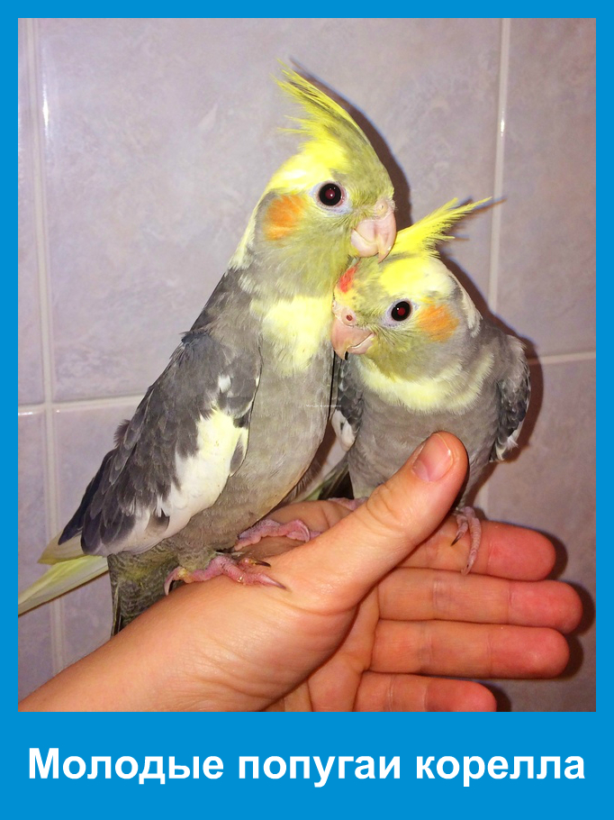 Все о попугаях корелла в домашних условиях