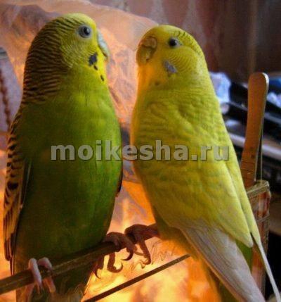 попугай волнистый как выбрать