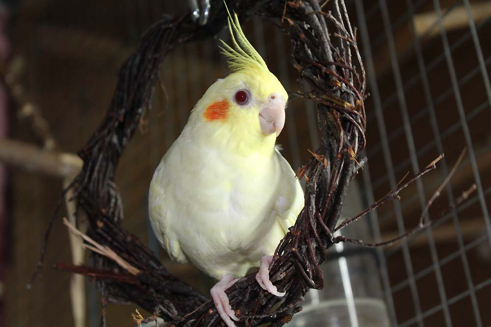 Попугай корелла лютино