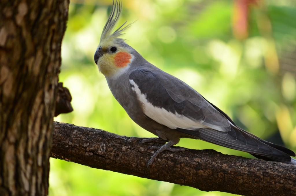 Уход за попугаем корелла