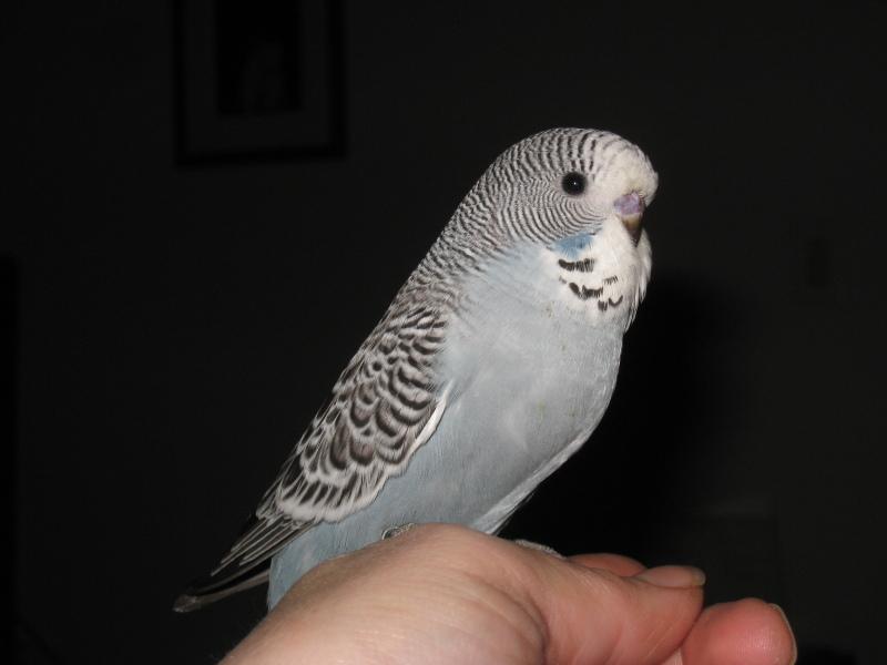 Серый волнистый попугай