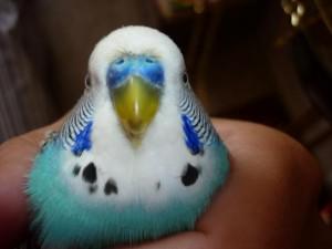 Болезни клюва волнистого попугая