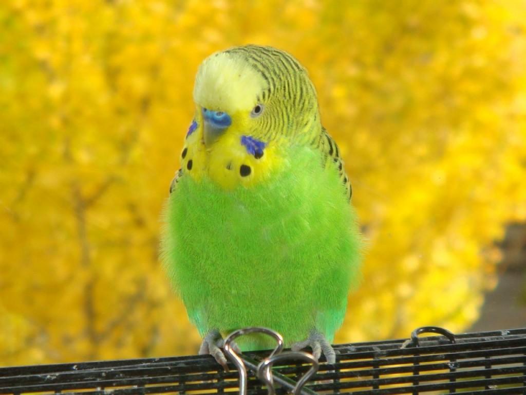 Самец попугай волнистый