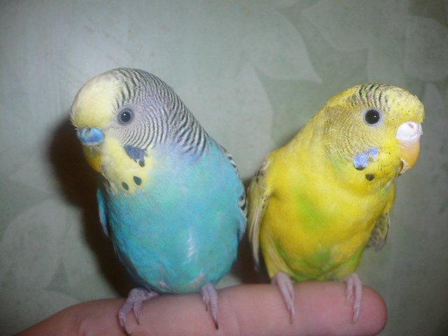 девочка волнистый попугай фото