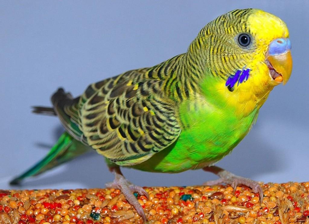 Здоровый волнистый попугай