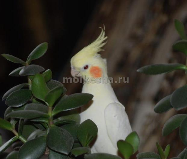 сколько лет живет попугай корелла