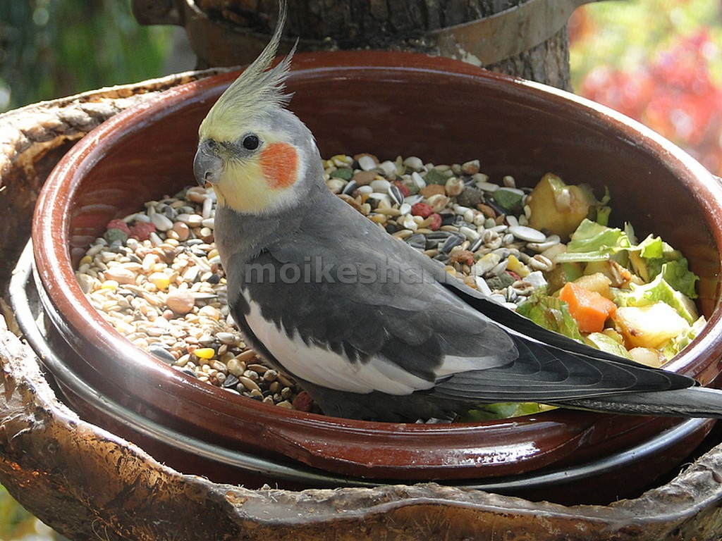 попугай корелла содержание