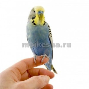 срок жизни волнистых попугаев