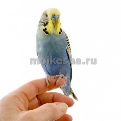 До скольки живут волнистые попугаи