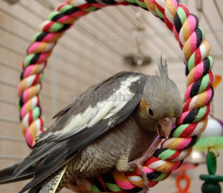 как содержать попугая корелла