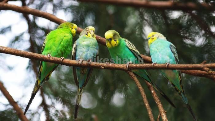 попугай волнистый в природе