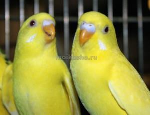 как долго живут волнистые попугаи