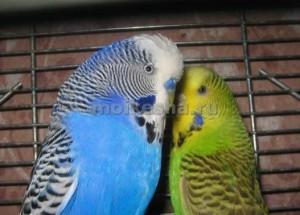 волнистые попугаи живут лет