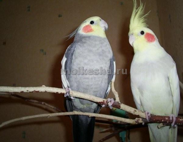 попугай корелла срок жизни