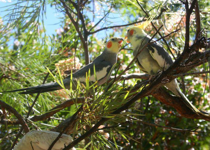 Попугай корелла в Австралии