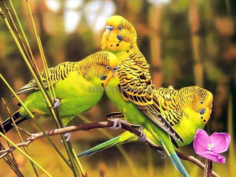 волнистые попугаи в дикой природе
