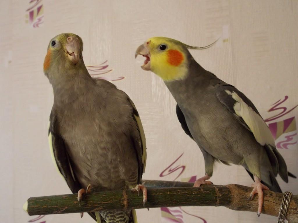 Стресс у попугая корелла