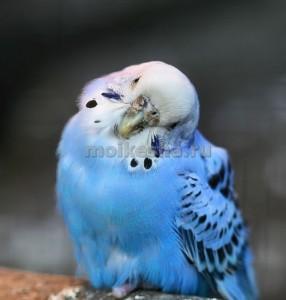 волнистый попугай продолжительность жизни