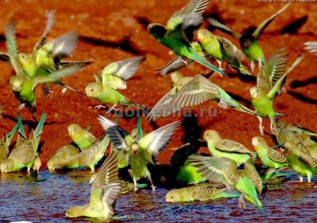 откуда родом волнистые попугаи