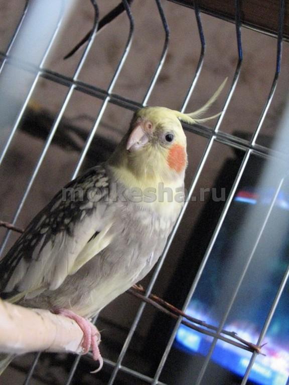 Попугай нимфа корелла