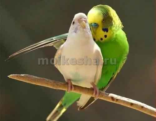 яйца волнистых попугаев
