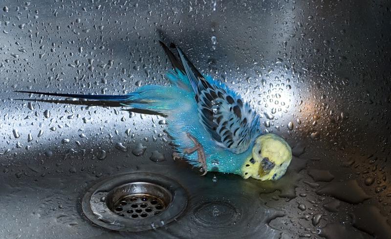 как купаются волнистые попугаи