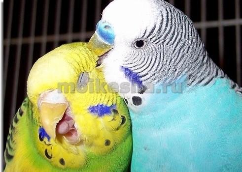 как волнистые попугаи высиживают яйца