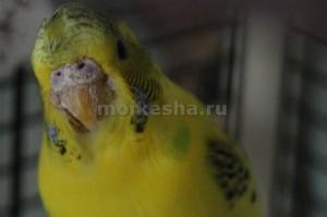 почему волнистые попугаи чешутся
