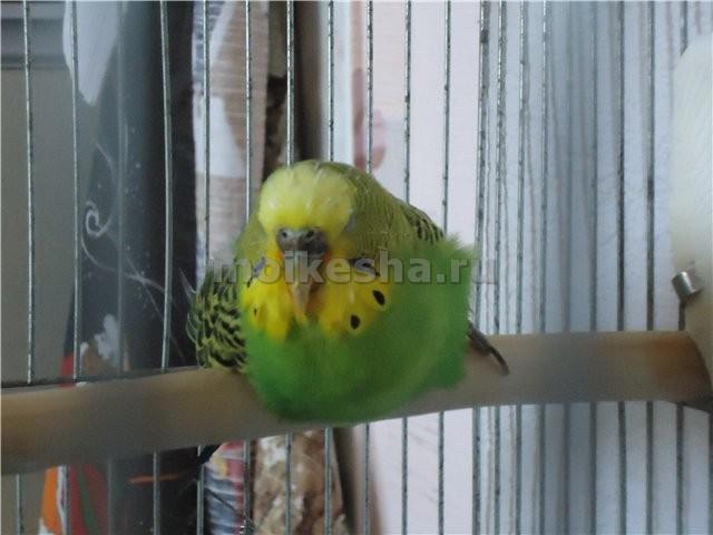 как понять попугая волнистого