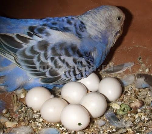 самка волнистого попугая снесла яйцо