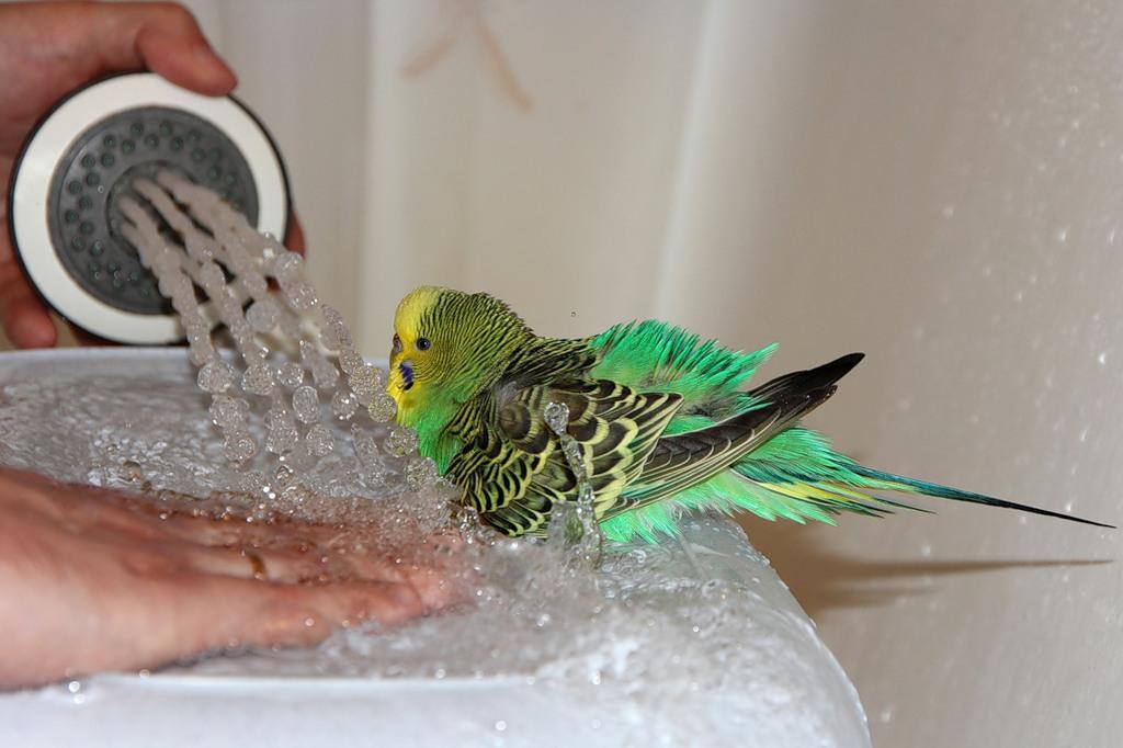 попугай волнистый как купать