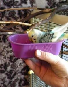 нужно ли купать волнистого попугая