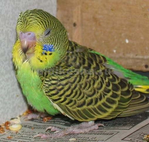 волнистый попугай поносит что делать