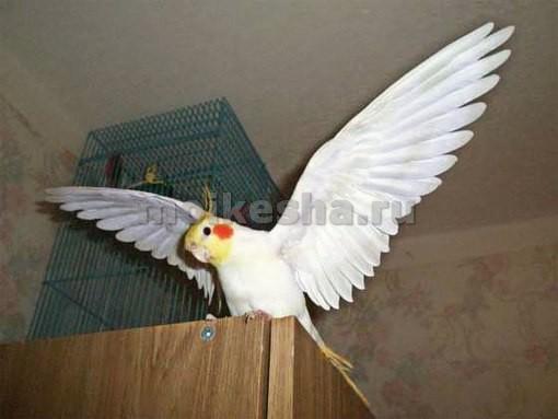 попугай корелла как научить разговаривать