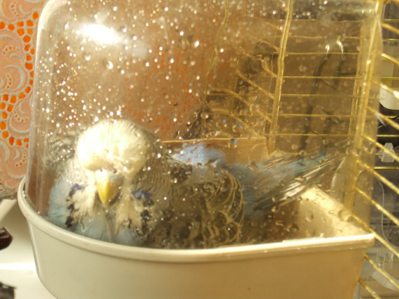 как мыть попугая волнистого