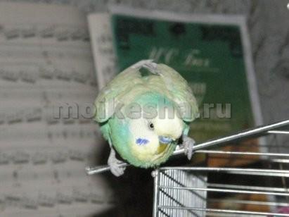 Почему чешется попугай волнистый 193